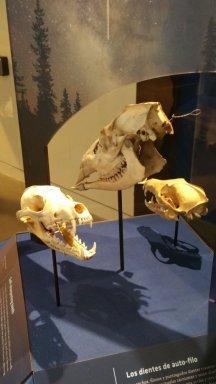 coyote skulls